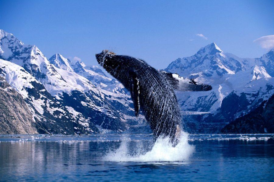 ALASKA WHALE2