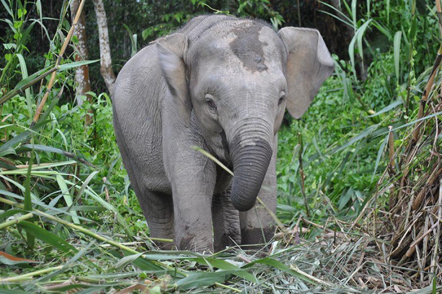 Pygmy Elephant Borneo Wildlife Tour