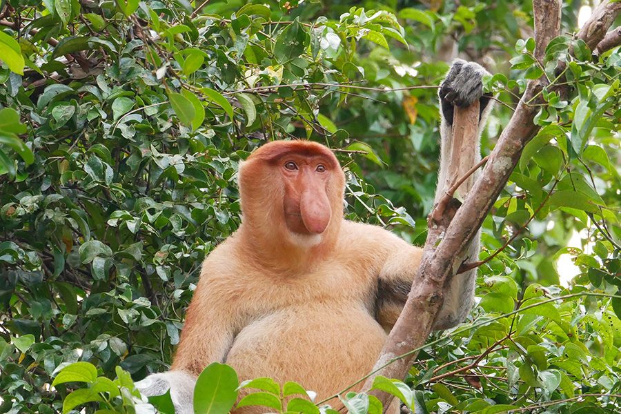 borneo wildlife tour myholiday2 - proboscis monkey