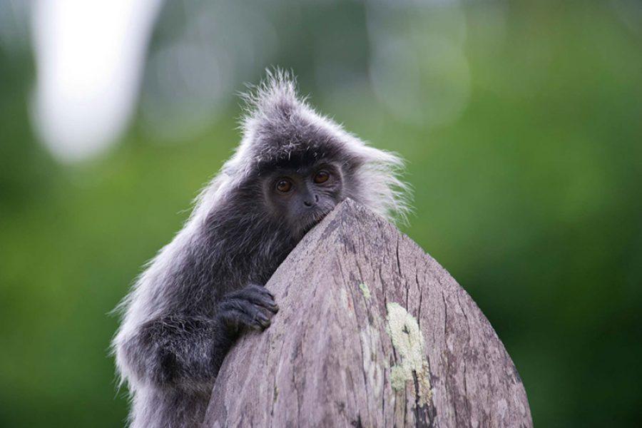 sarawak monkey